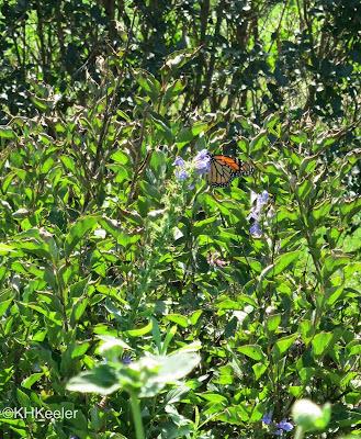 butterfly, Ladew Garden