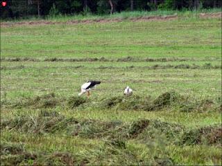 Аисты на поле в Мирклишках