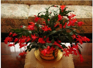 Decorating christmas with plants, ideas to decorating naturally crhistmas