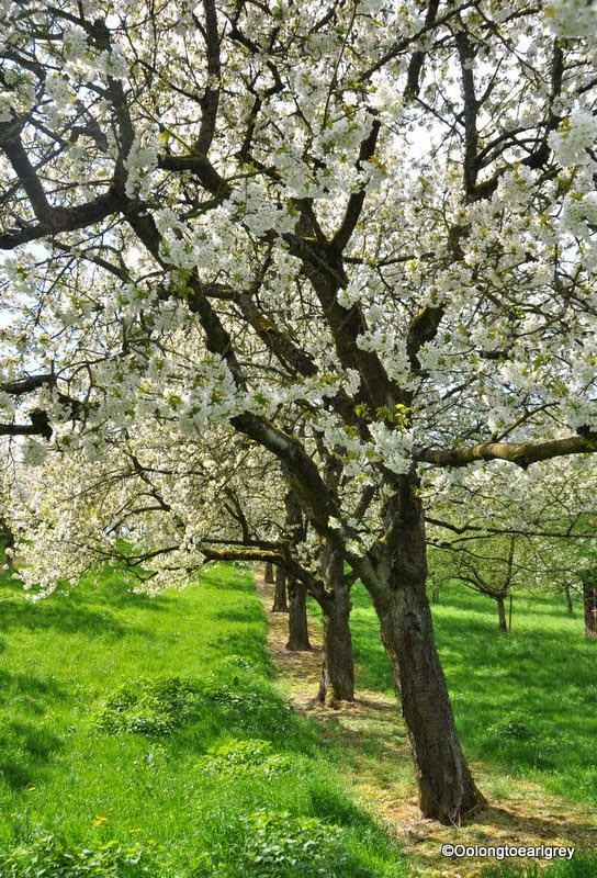 Cherry Blossoms in Frauenstein, Weisbaden