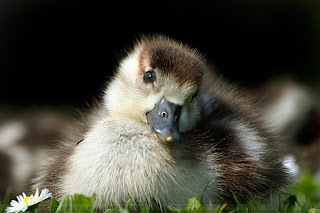 innocent duck baby animal