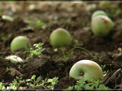 Trilogía otoñal, II. Manzanas