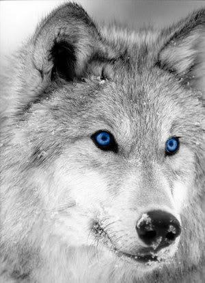 скачать волка картинка