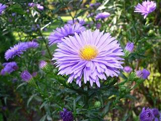 Jardineria, Catalogo de Plantas: Aster novi-belgii