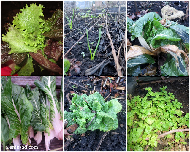 ноябрь, сад, огород, мангольд, примула, салат, мята, лук, аленин сад