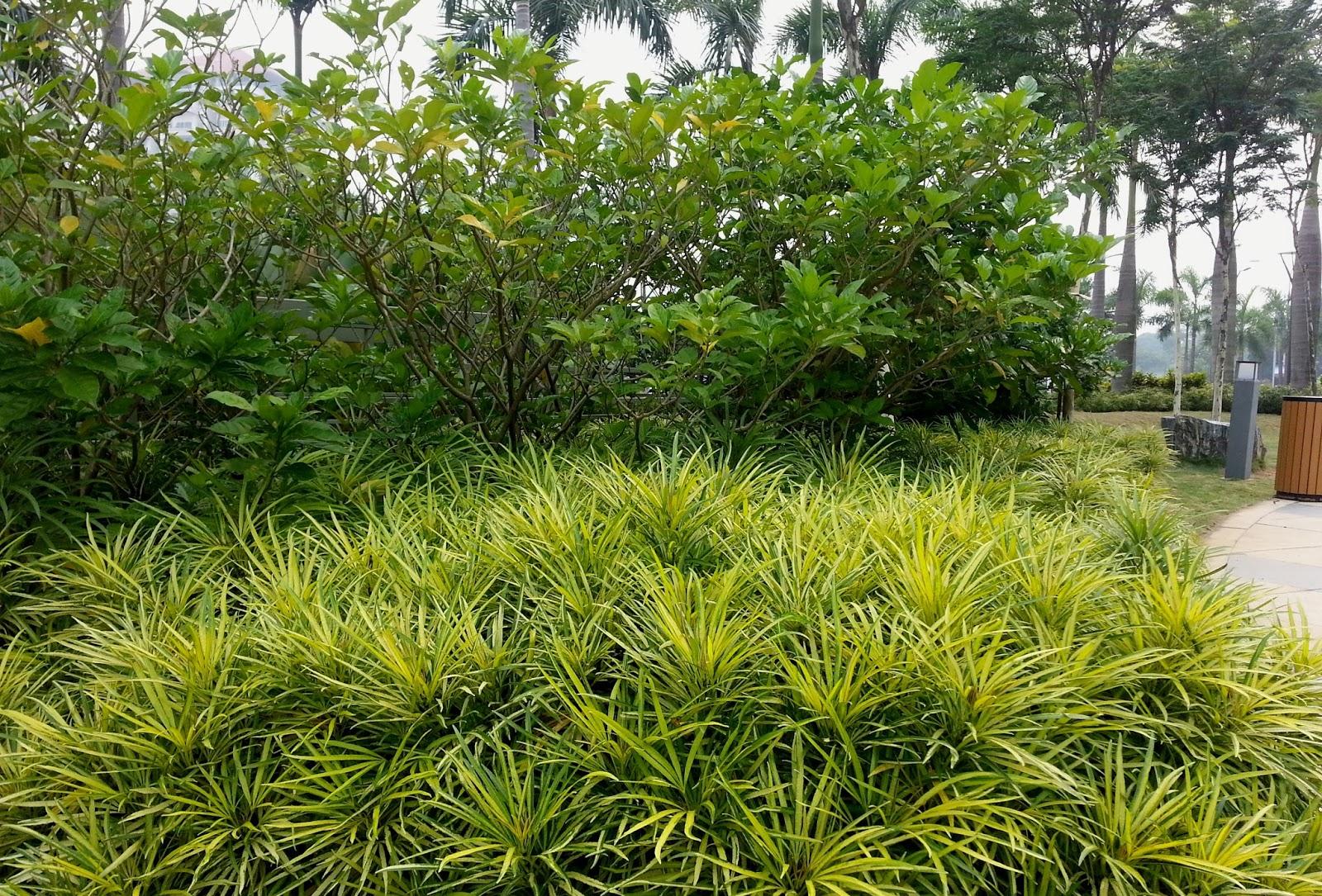 Yellow Planter Mimosa Planter Et Tailler Ooreka