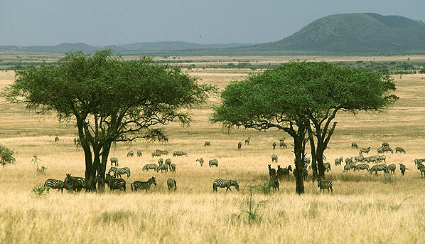 Grassland Vegetation Information http://forestry-learning.blogspot.com/2013/02/what-is-savanna-savanna-is-grassland.html