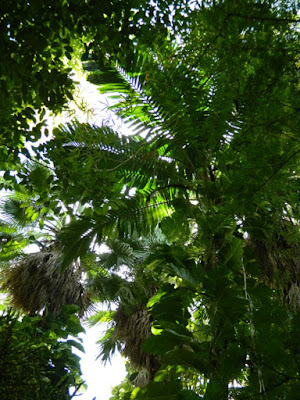 Diamond Botanical Gardens palms Soufriere St. Lucia by garden muses-not another Toronto gardening blog