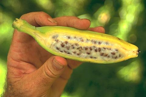 La Banana o Plátano tiene semillas