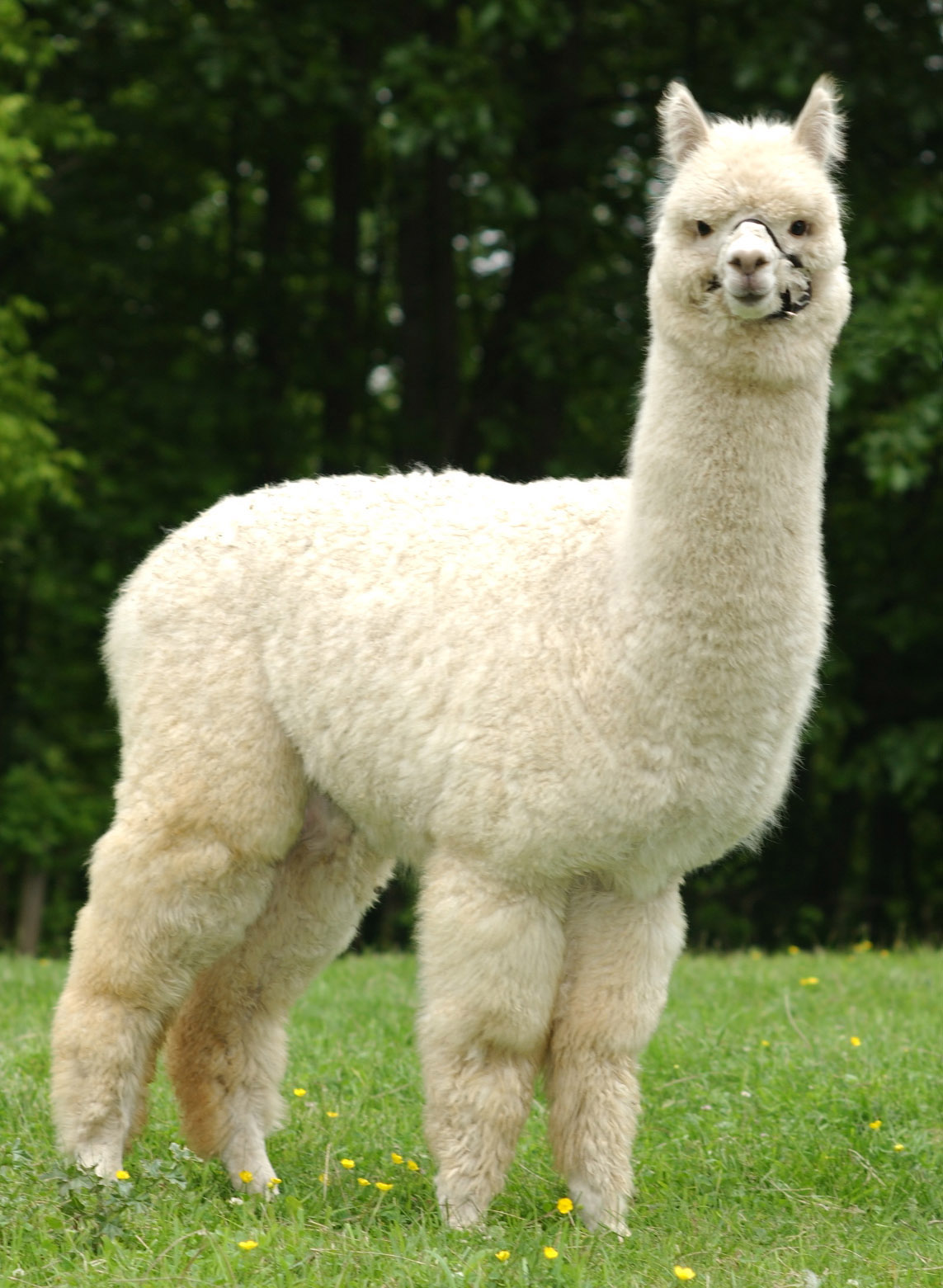 Alpaca   A Lovely And ...