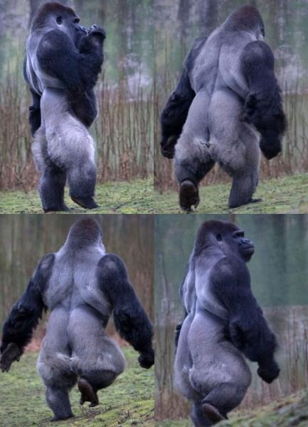 Gorilla standing upright