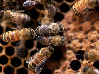 honey bee pest control