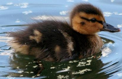 Patito bebé nadando