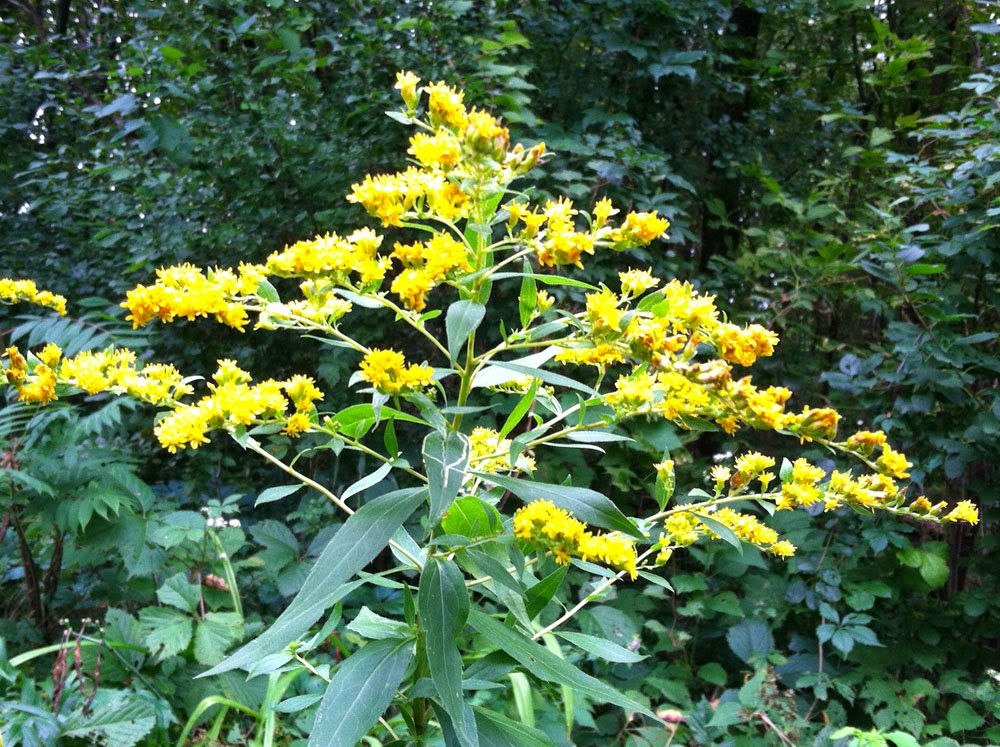 Goldenrod encountered while trout fishing in Southeast Minnesota.