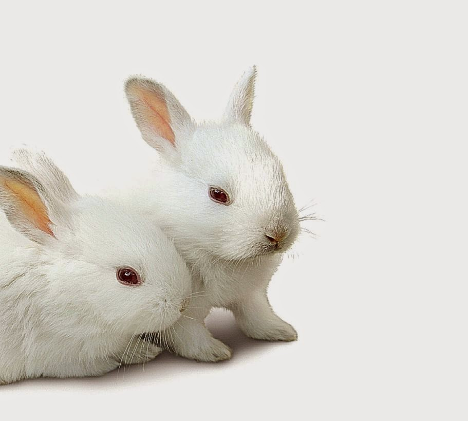 Cute White Rabbit Wallpapers For Desktop All About Animal Wildlife Cute White Rabbit hd Wallpapers 2012