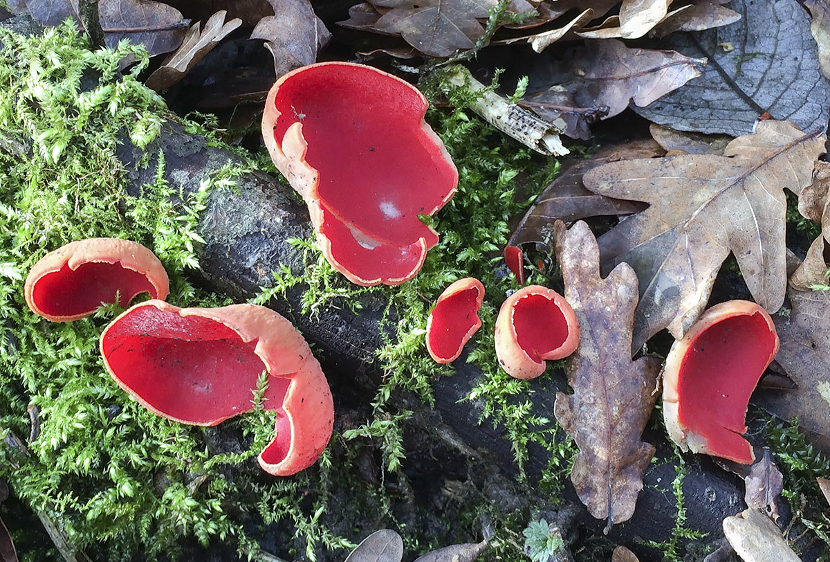 Sarcoscypha species, Scarlet Elf Cup.  Sevenoaks Wildlife Reserve, 22 February 2014.