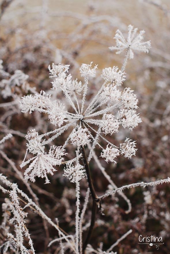 hierbas heladas