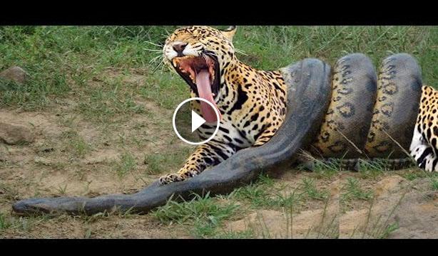 Animal Clip168 Python Vs Tiger