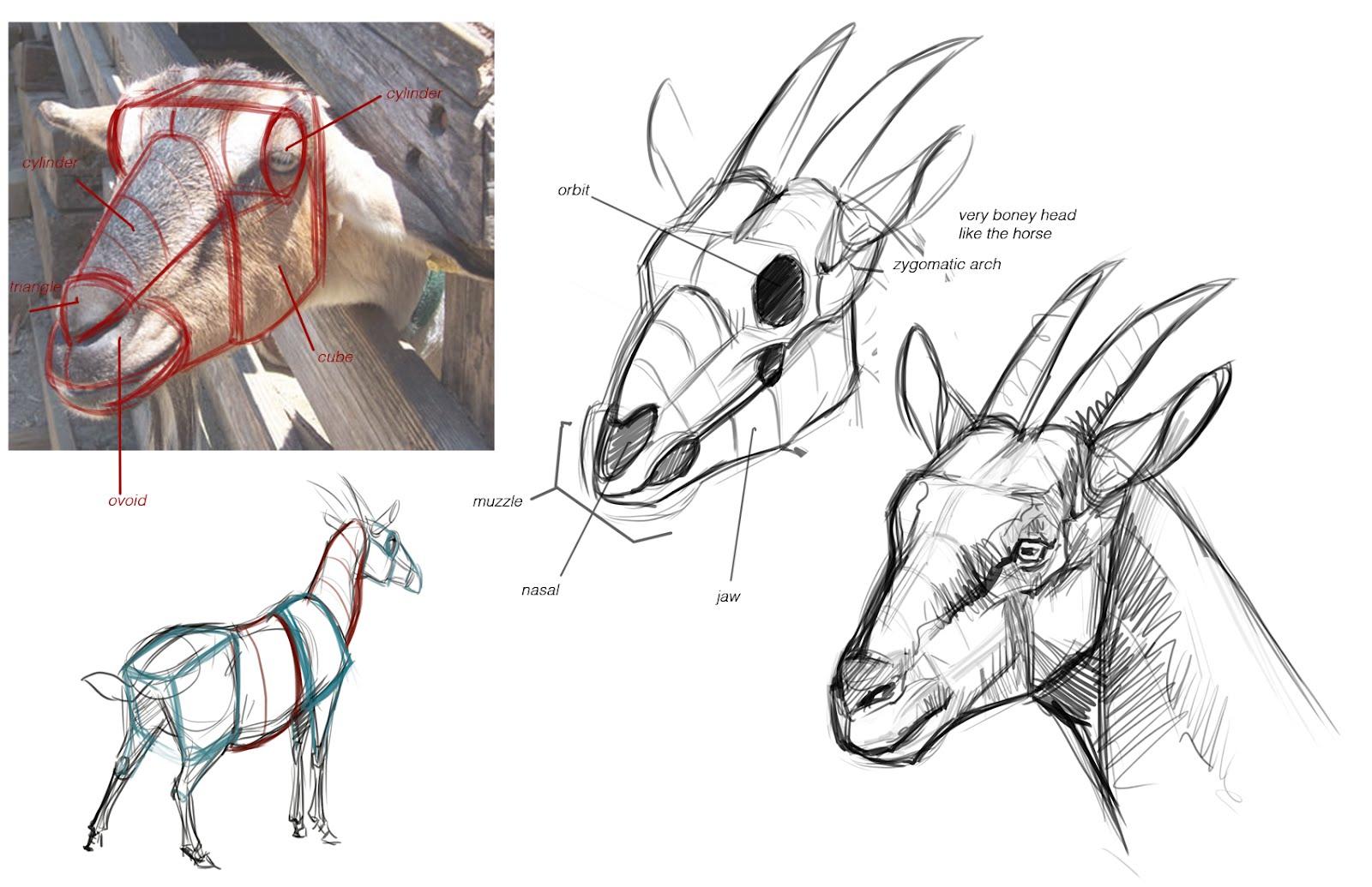 Pygmy Goat Head Drawing