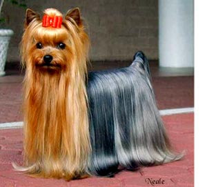 well dressed Beautiful dog breed Yorkshire Terrier in the party(occassion) on red carpet with brown and silver color hair.
