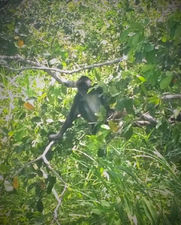 Spider Monkey Belize Lamanai jungle river