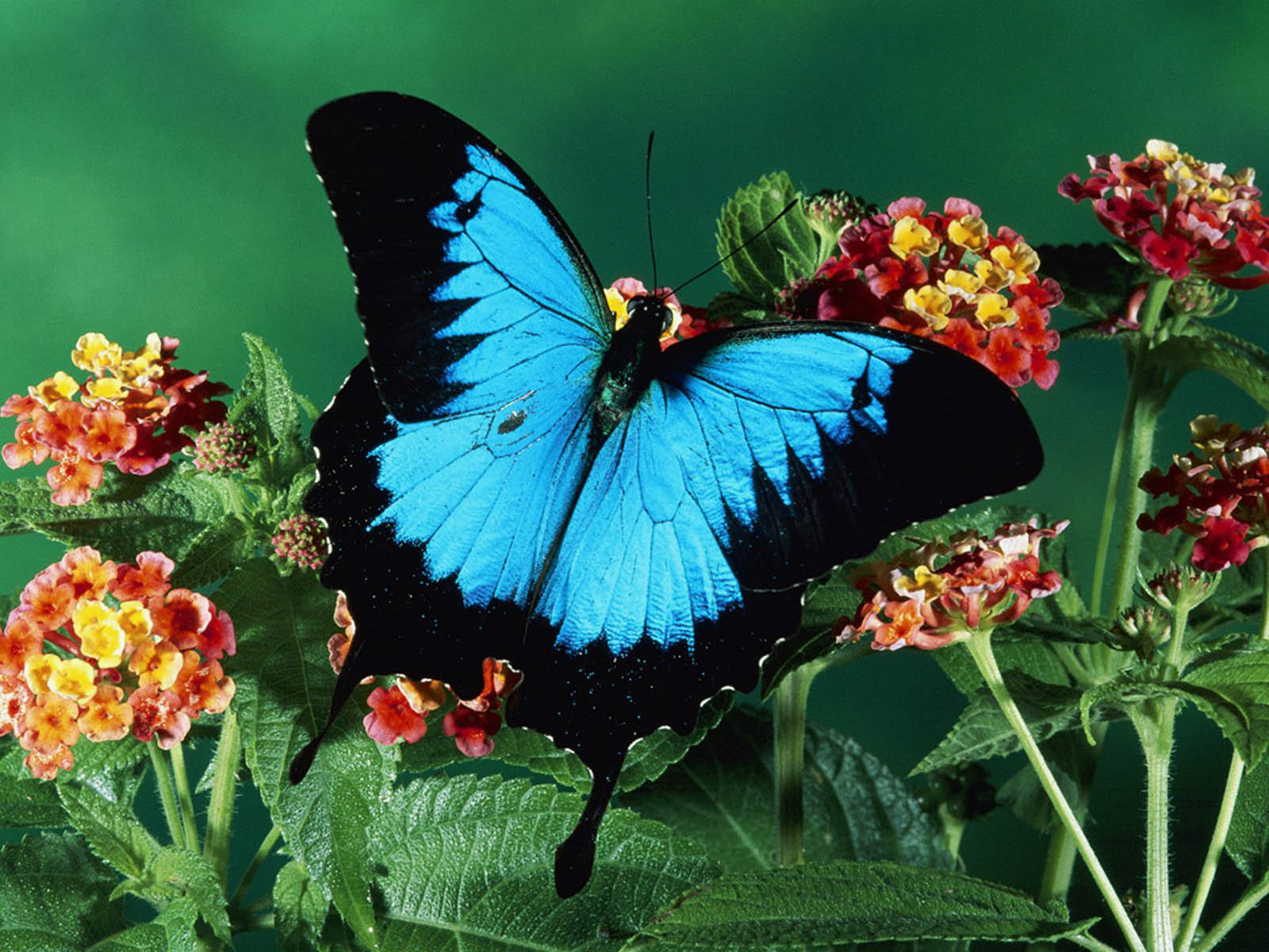 Beautiful Butterfly Desktop Wallpapers