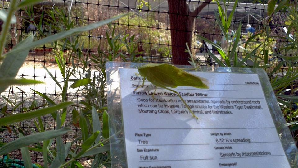 A katydid shopping at Theodore Payne California Native Plants