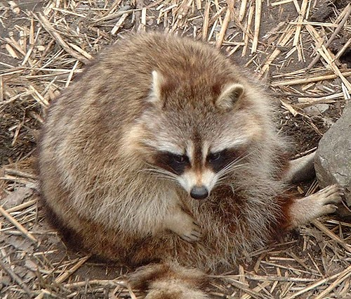 (Mexico Has Won The Title Most Recently) But People Arenu0027t The Only People  To Suffer, Raccoons Are Also Getter Fatter.