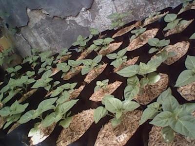 tanaman hidroponik cabe polybag