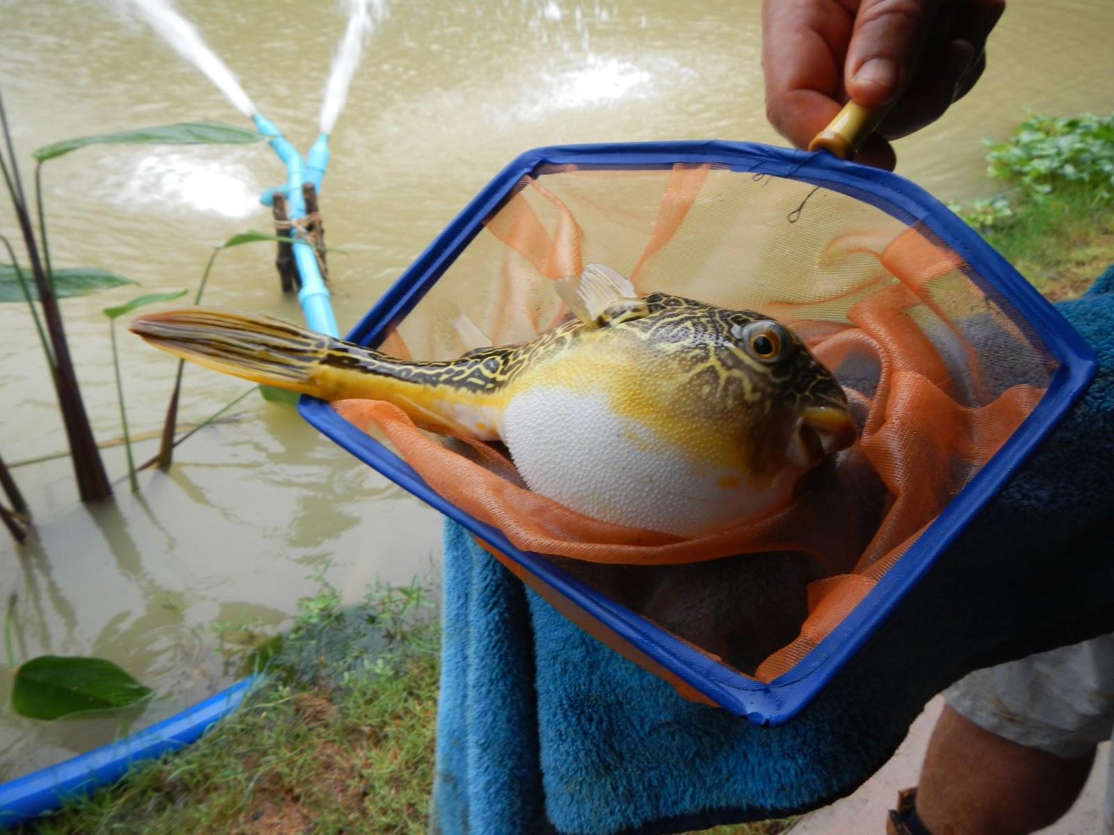 Freshwater aquarium fish uk freshwater tropical fish for Fresh water tank cleaning fish