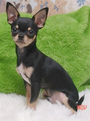 Black and Brown Chihuahua Dogs