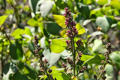 lilac flower buds