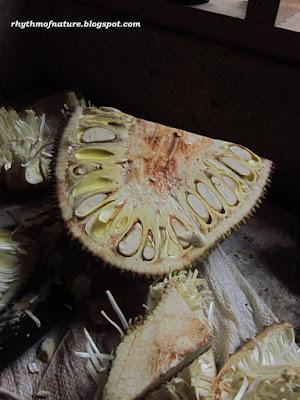 A jackfruit when cut