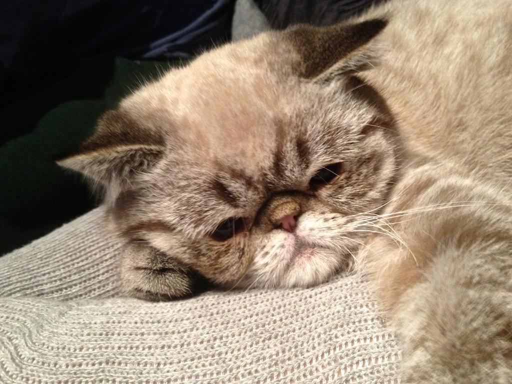 Участник фестиваля котов - Капитан Блинов