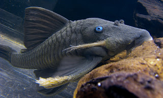 Blue-Eyed Pleco