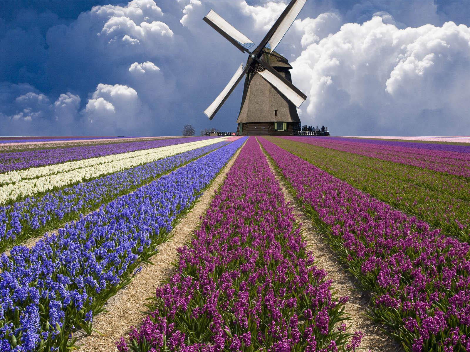 Indahnya Kebun Bunga Di Belanda 3d Desktop Wallpaper