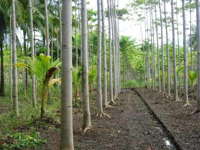 Cara penanaman dan perawatan benih pohon jabon agar pohon jabon dapat bertumbuh dengan baik
