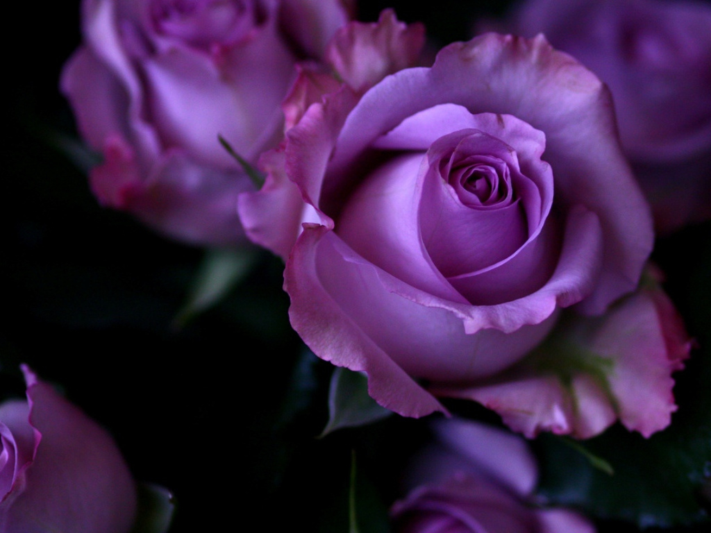 Purple Roses Wallpaper - Best HD Wallpapers