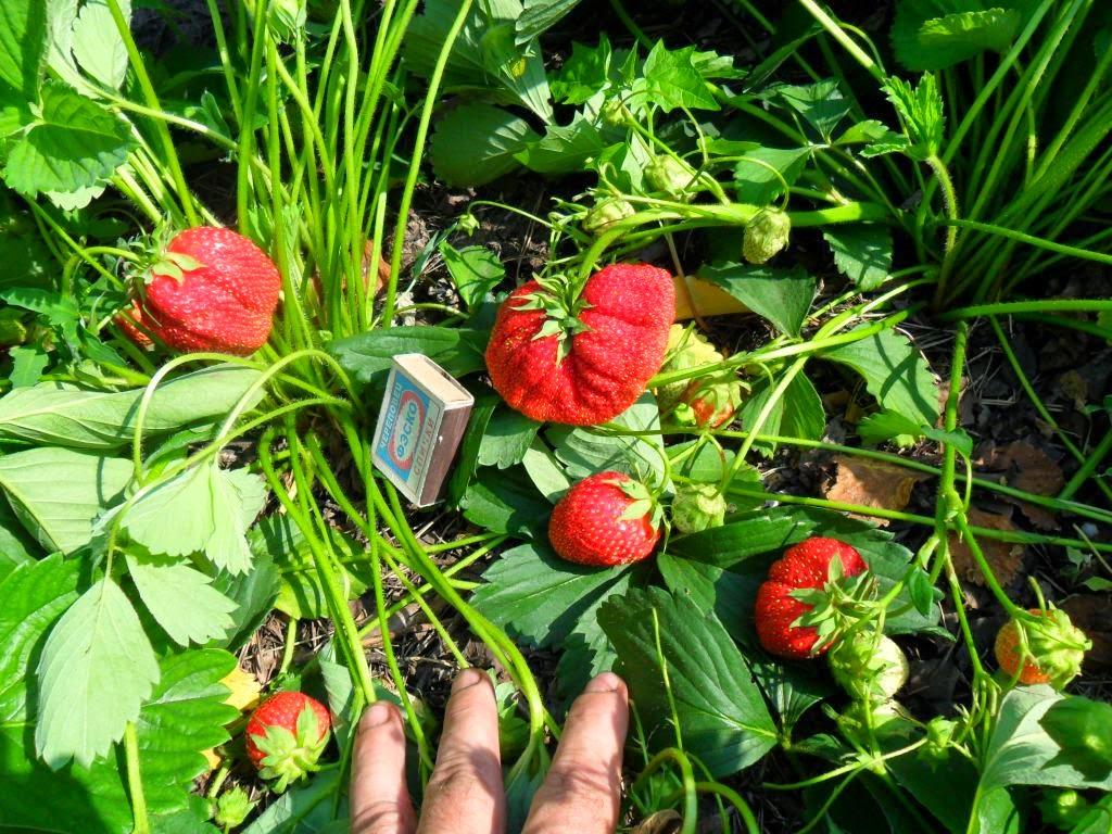Урожай великолепной ягоды - клубники!