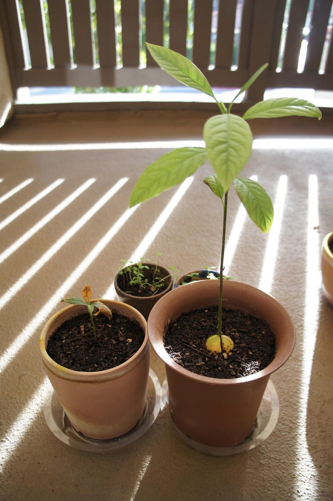 植える 種 びわ の