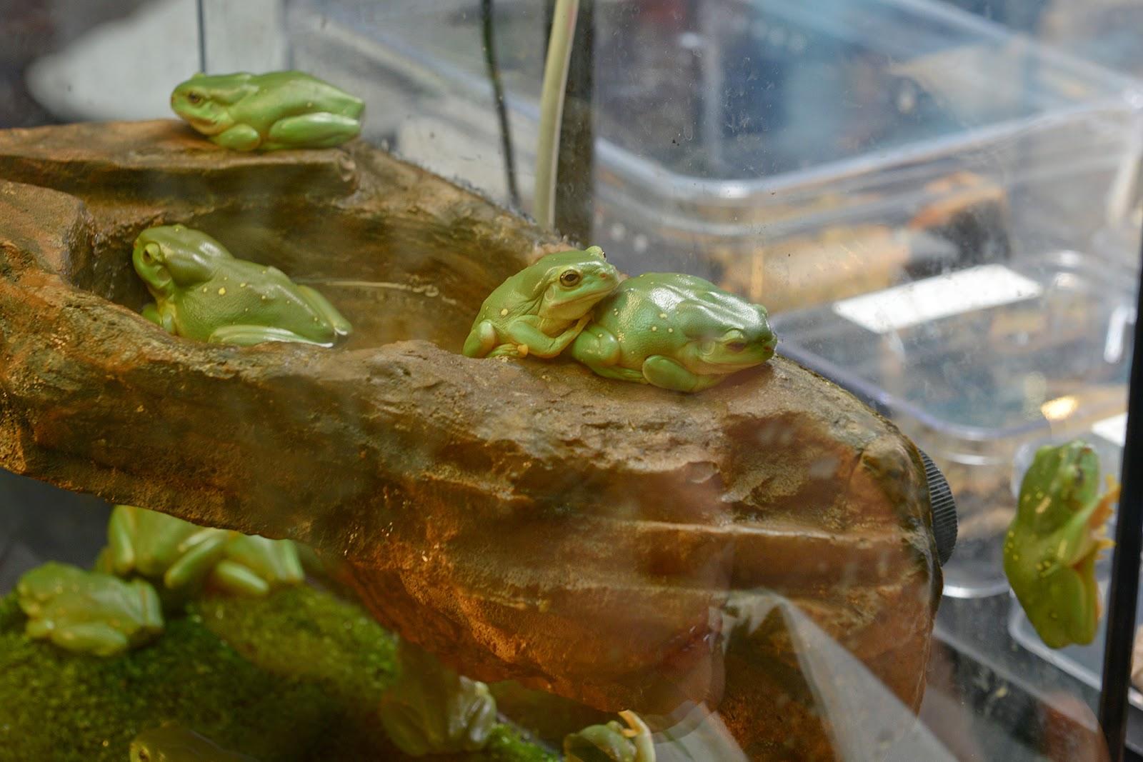 Magnificent tree frog Littoria splendida
