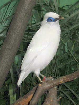 Jalak Bali Bird