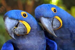 Arara Animais do pantanal