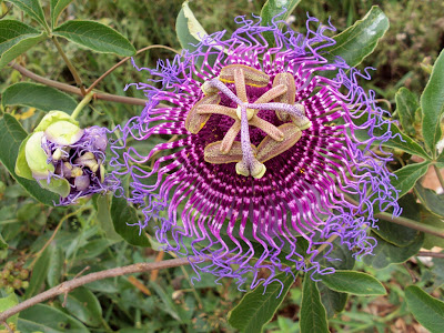 Flor do Maracujá do Cerrado - foto de Henrique Neyffer
