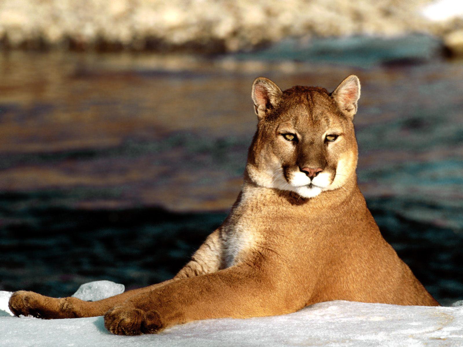 http://4.bp.blogspot.com/-HMZ_XkBInBU/Tcvqg1JzmkI/AAAAAAAABg8/MpaFHtH1pyE/s1600/Puma_2.jpg