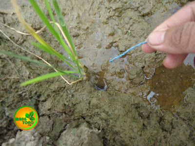 Foto 3 : umpan kodok yang sudah terpasang pancing dimasukan ke lubang belut