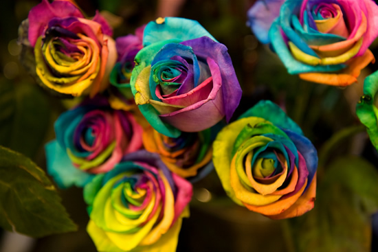 Rainbow roses incredible dot com for Rainbow dyed roses