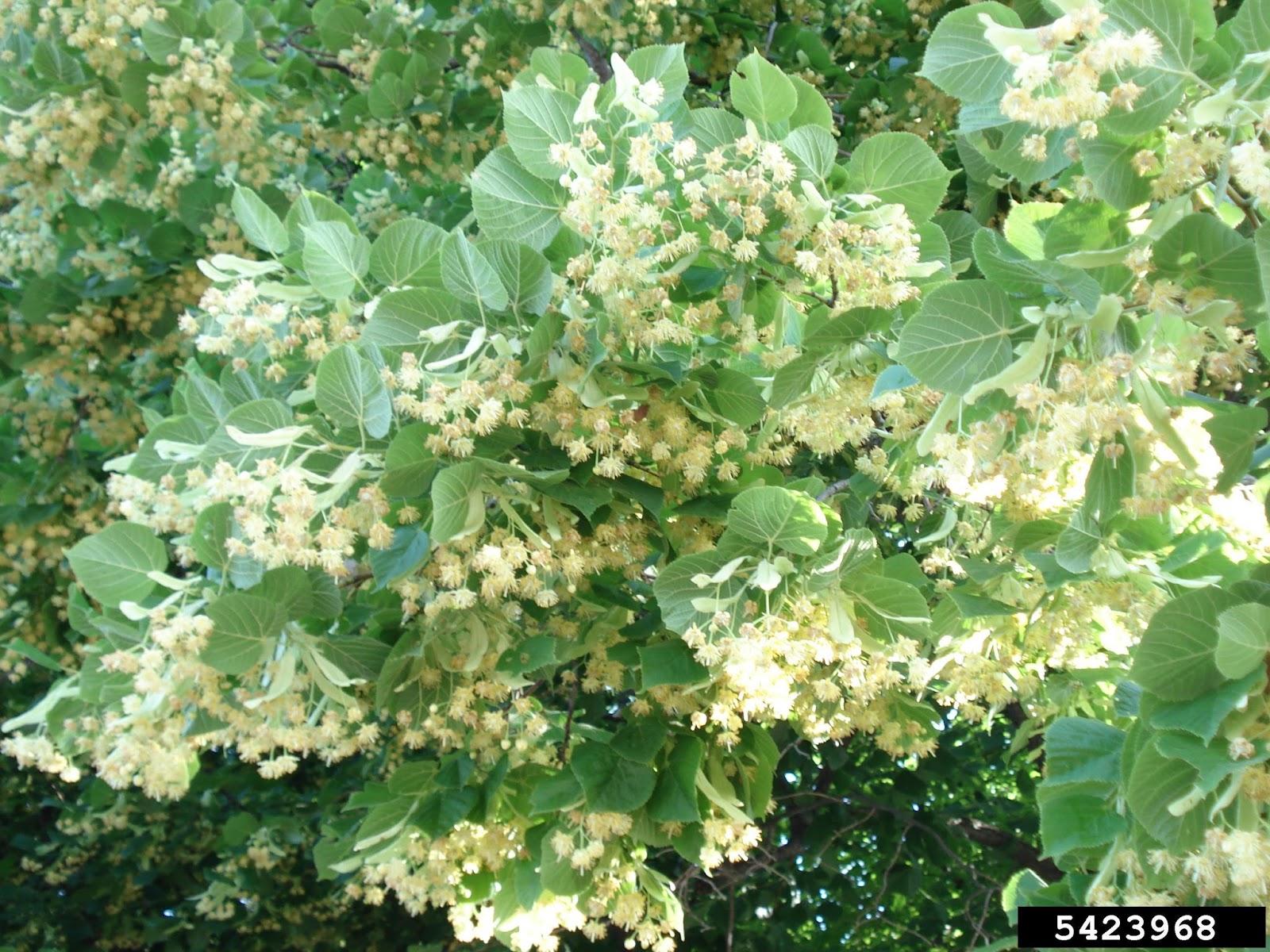 Meet A Tree: Meet the Littleleaf Linden - Tilia cordata
