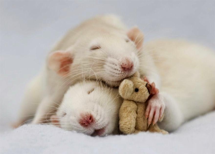 ratos fofos: ratos brancos a dormir