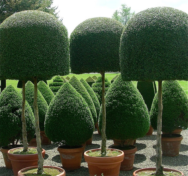 Amazing Topiary: The French Tangerine: